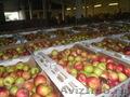 Продаем яблоки oптом