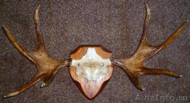 фото лосиные рога