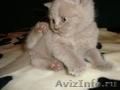 Продаю британских,  короткошерстных котят