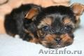 Йоркширский  терьер щенки
