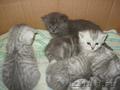 Продаю котят породы скоттиш -старйт и британской