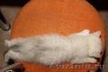 Котята британские плюшевые